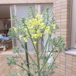ブロッコリーの花の写真
