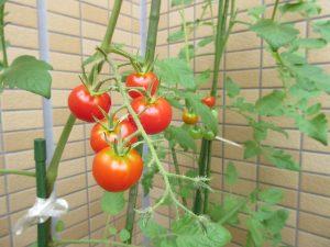 ミニトマトが実っている写真