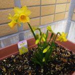 黄色のスイセンの花の写真