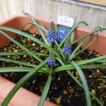 ムラサキのムスカリの花の写真