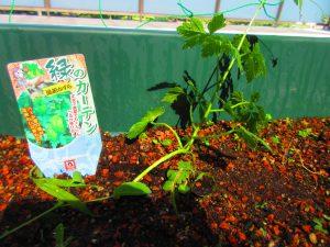 緑のフセンカズラの苗の写真