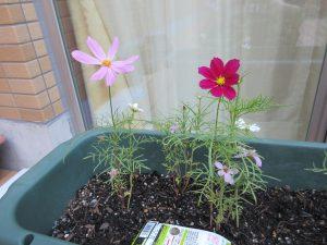 プランターに赤とうすいピンクのコスモスが咲いている様子