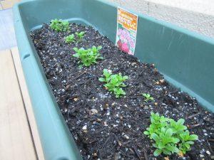 プランターに緑色の苗が並んで植えられている様子尾