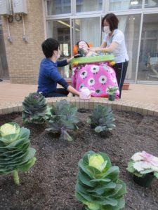 紫やクリーム色の葉ボタンが花壇にいくつも植えられている様子とスタッフが植えている様子