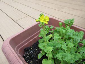 黄色の菜の花の写真