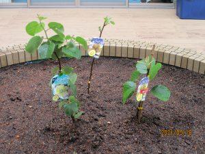 茶色の土の中に緑の苗が3本植わっている様子