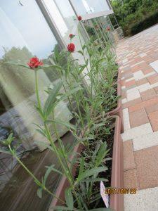 四角のプランターに赤い花が規則正しく咲いている様子