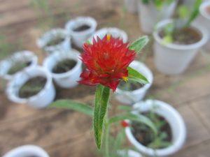 赤い鮮やかな千日紅の花のアップの様子